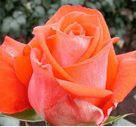 Rose - Verano