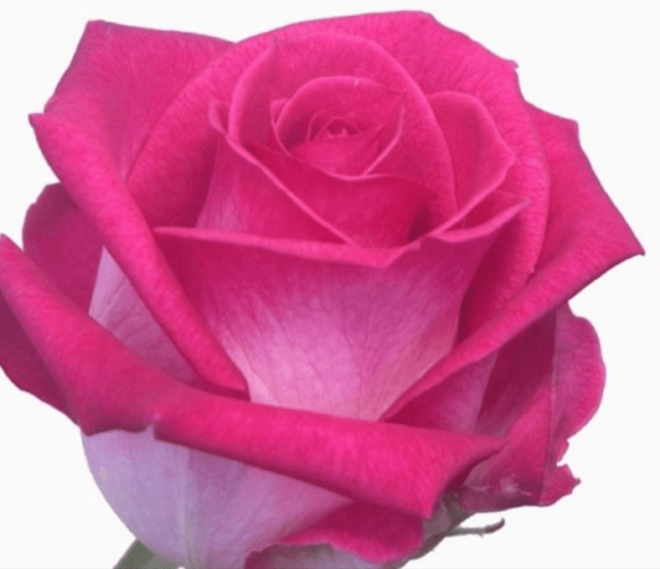 Rose - Verdi (Dark Pink)