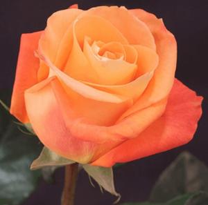Rose - VooDoo