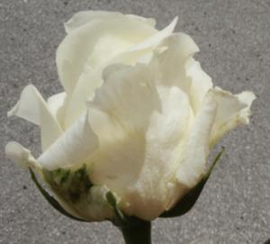 Rose - White Chocolate