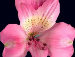 Roselyn (Pink)