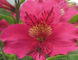 Topaz (Pink)