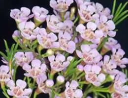 Waxflower - Light Pink