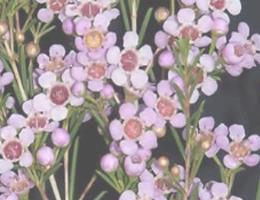Waxflower - Pink