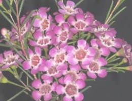 Waxflower - Violet (Dark Pink)