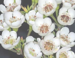 Waxflower - White