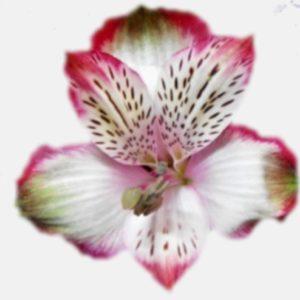 Alstroemeria - Butterfly