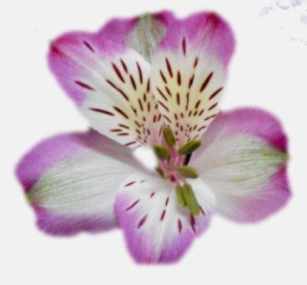 Alstroemeria - Pumori