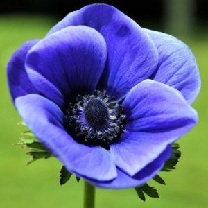 Anemone - Blue