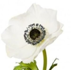 Anemone - White