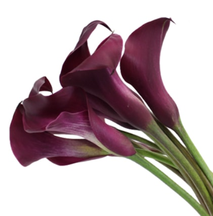 Calla Lilly Mini - Purple Berry