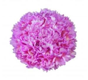 Carnation - Nobbio Lavander