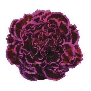 Carnation - Nobbio Violet