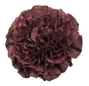 Carnation - Thrill Bronze