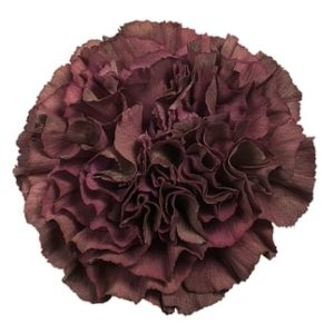 Carnation - Thrill Bronze