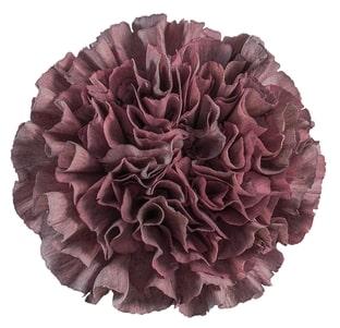 Carnation - Thrill Sepia