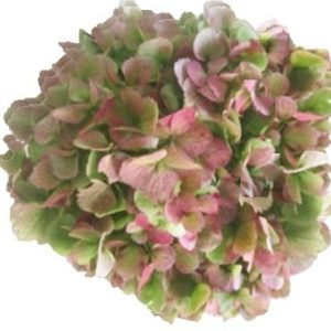 Hydrangea - Antigue Green