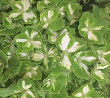 Hydrangea - Green Mojito Varigated