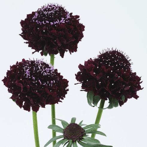 Scabiosa - Blackberry