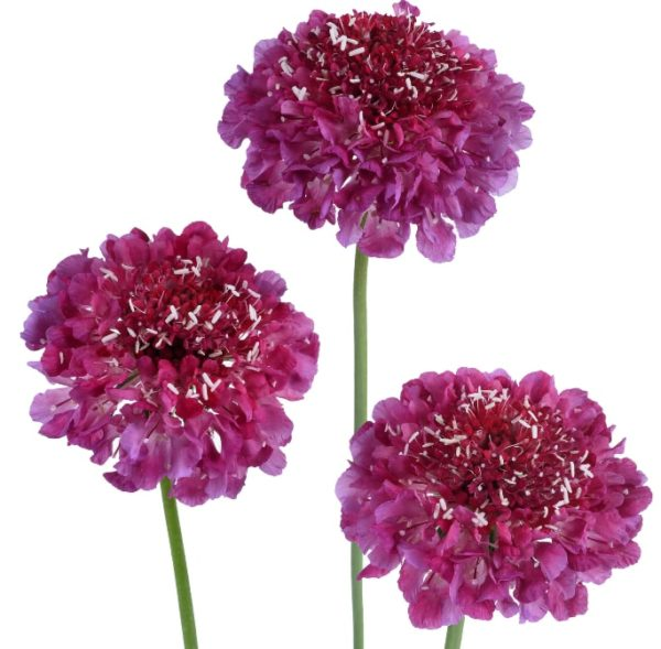 Scabiosa - Hot Pink