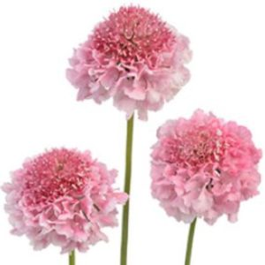 Scabiosa - Pink