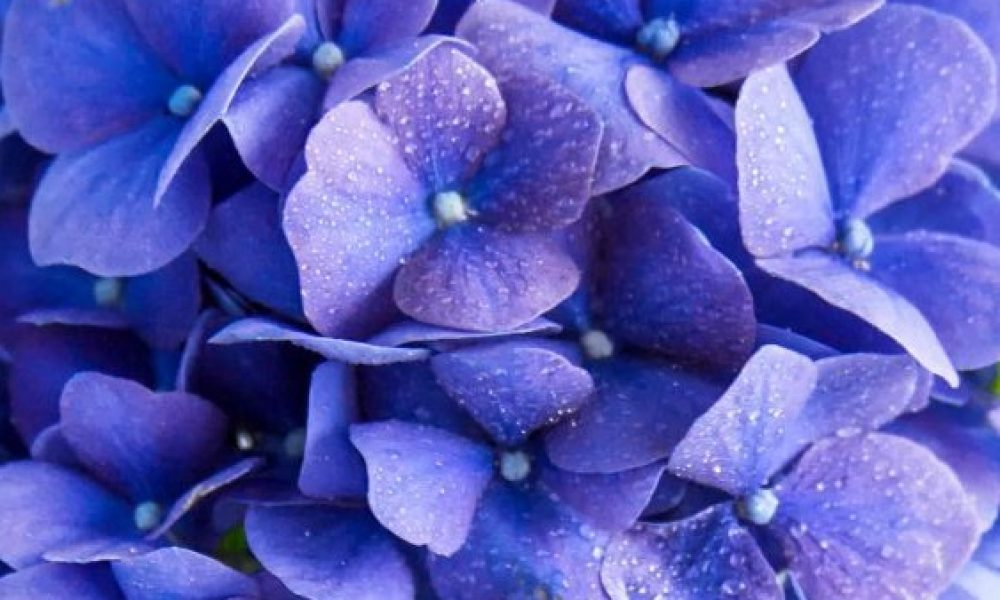 blue-flowerss