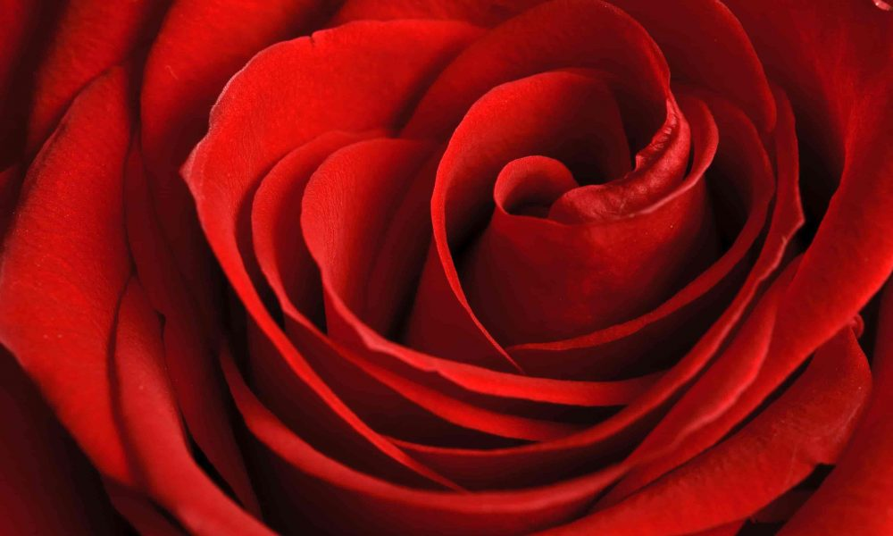 red-roses-final